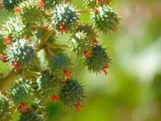 rizinus pflanze mit blueten